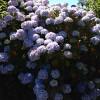 Hydrangeas in Falmouth